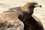 Estado de Zacatecas, pionero en investigación y conservación del Águila Real