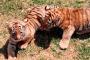 Nuevas crías de tigre, búfalo, llama y borregos muflón en el Zoológico La Encantada