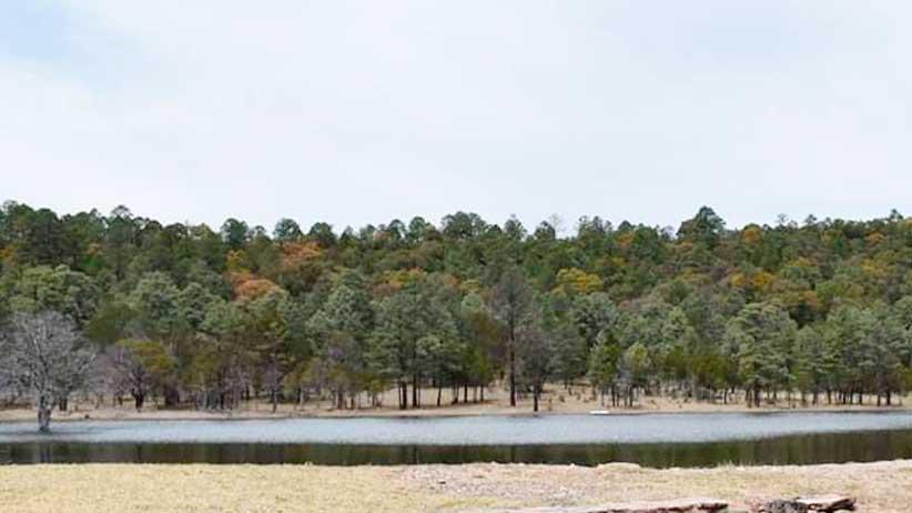 Gobierno del Estado implementa acciones para conservar y preservar el pino azul en Juchipila.