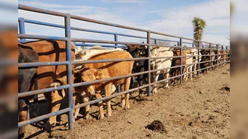 Confía Alejandro Tello en mantener para Zacatecas estatus de exportación de ganado a Estados Unidos