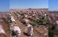 Parte rumbo a Estados Unidos primer cargamento de 22.5 toneladas de cebolla zacatecana